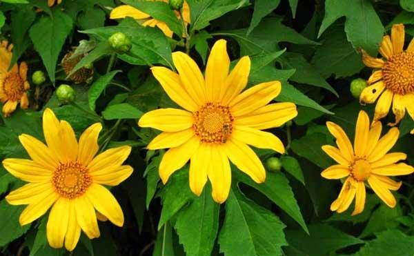 Tháng 10 - 11 là mùa hoa dã quỳ rực nở rực rỡ ở Ba Vì