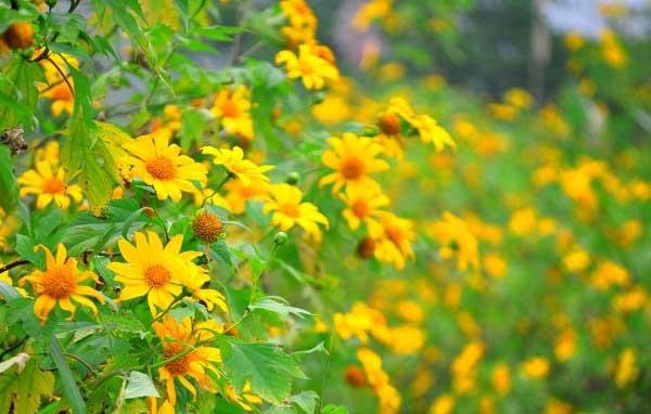 Ba Vì đẹp lộng lẫy với Hoa Dã Quỳ