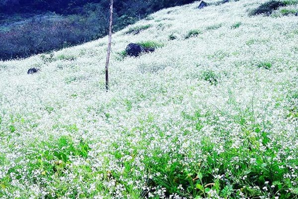cánh đồng hoa cải trắng Đà Lạt tháng 12