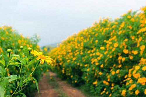 cánh đồng hoa dã quỳ