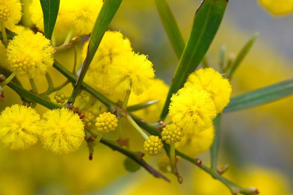 Đà Lạt mùa hoa mimosa nở