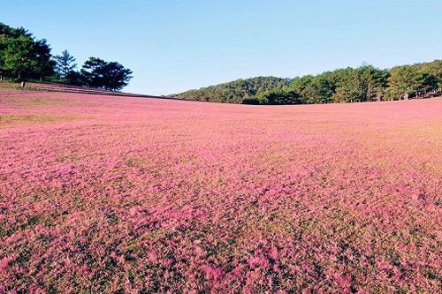 đồi hoa cỏ hồng Đà Lạt tháng 12