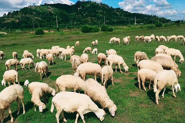 tham quan nông trại cừu ở Vũng Tàu