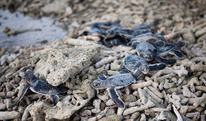 Là nơi nhiều loài rùa biển quý hiếm về đẻ trứng