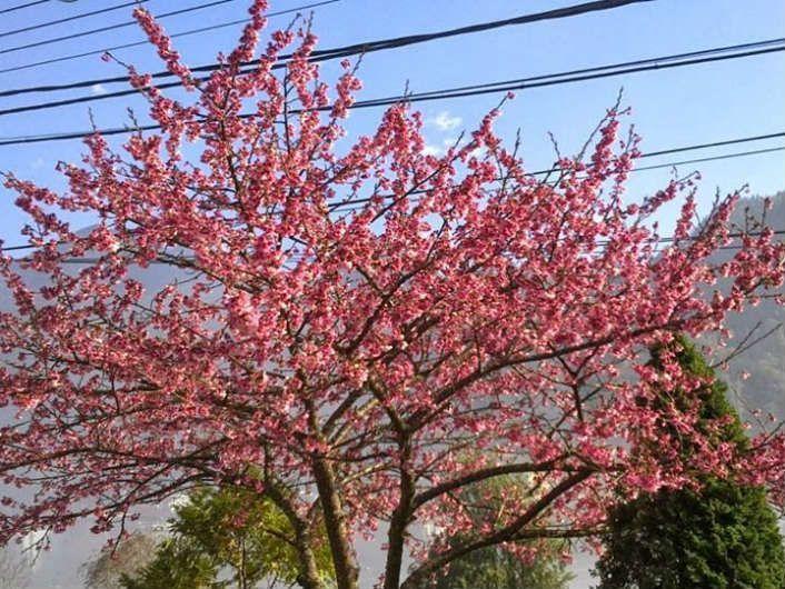 Hoa Anh Đào Thắm Đỏ Giữa Tuyết Trắng SaPa