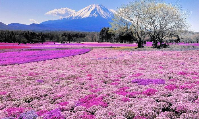 Ngọn núi cao sừng sững chấm phá giữ thảm hoa hồng rộng mênh mông từ lâu đã trở thành vẻ đẹp thiên nhiên điển hình của Nhật Bản