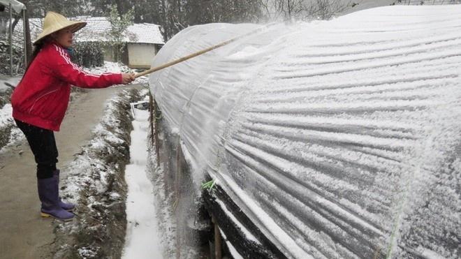 Đập tuyết đọng trên bạt nylon che chở vườn hoa màu Sapa