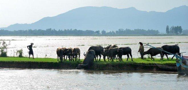 Những chú trâu to khỏe vượt đồng nước tìm miền cỏ mới