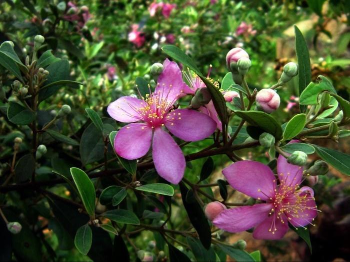 Hoa sim tím đồi Phú Quốc
