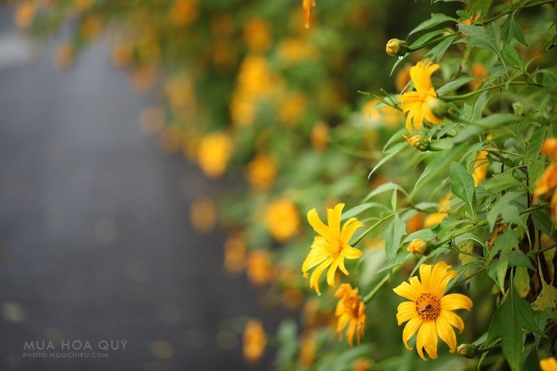 Dã quỳ - loài hoa dại ven đường khiến bao người ngất ngây khi về Dran