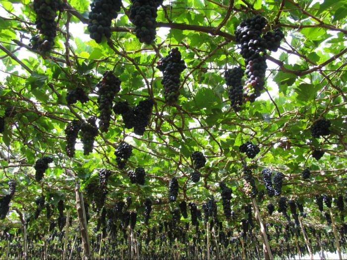 Ninh Thuận có giống nho đen Cabernet Sauvignon dùng để làm rượu