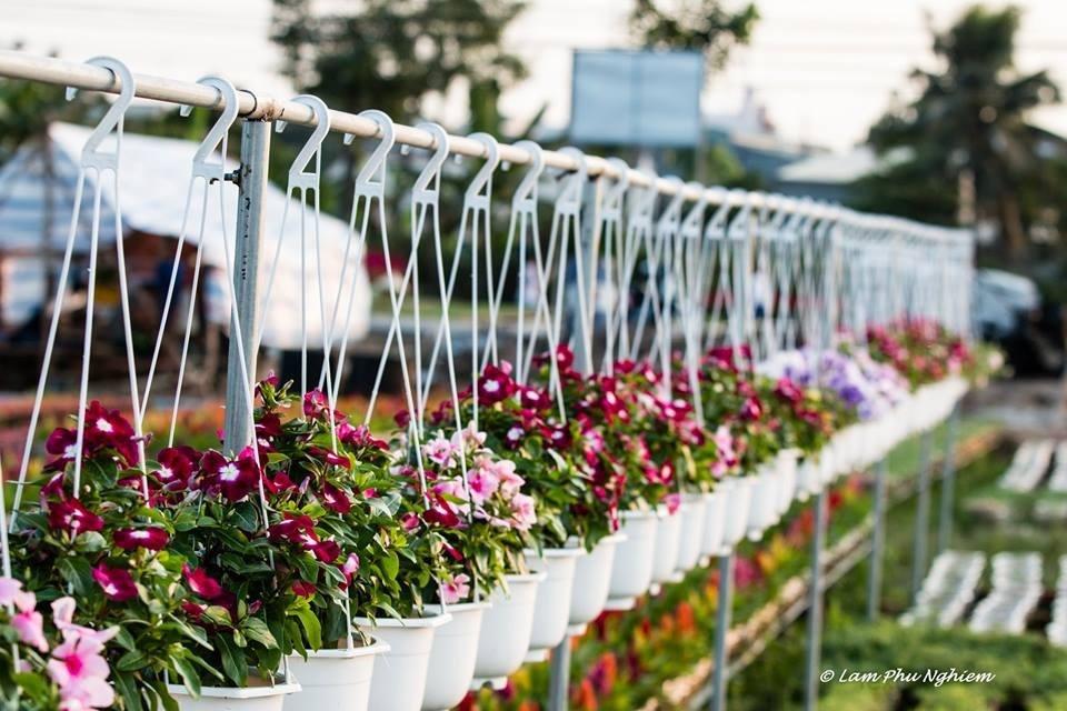 Trước Tết âm lịch 20 ngày là thời điểm sôi động nhất của làng hoa Sa Đéc