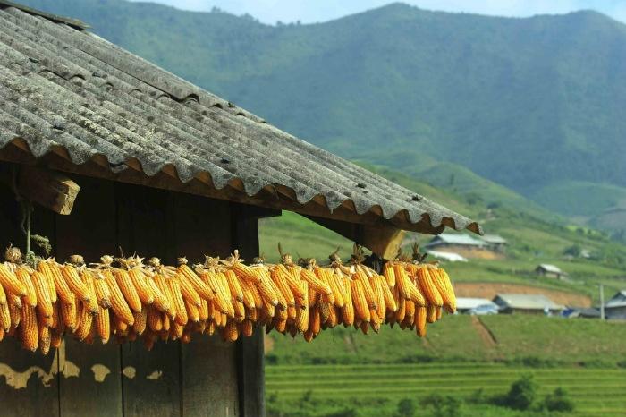 Sapa-Thu hoạch bắp ngô ở Lao Chải