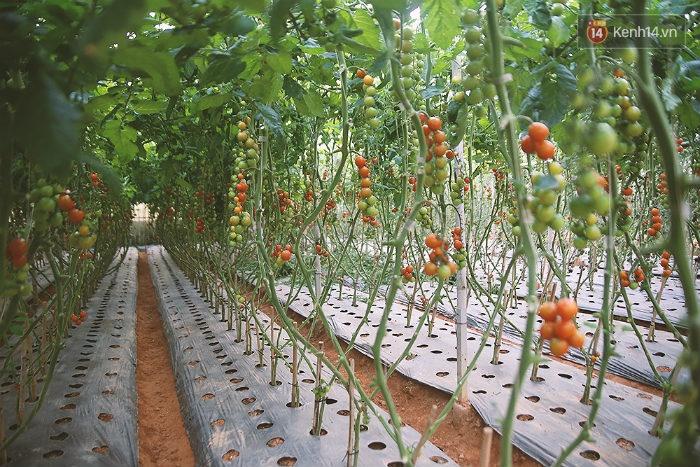 Không chỉ có bí ngô khổng lồ, khu vườn của ông Phan Đà Lạt còn có rất nhiều vườn rau quả độc đáo, xinh xắn.
