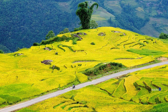 Lúa chín vàng ươm trên cao nguyên Y Tý xinh đẹp