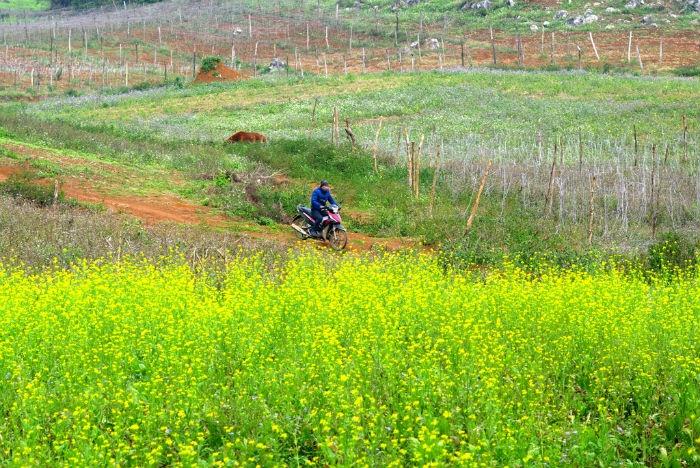 Dù đang trong những ngày đông giá rét nhất của miền Bắc, nhưng tiết trời Mộc Châu dường như ấm áp hơn hẳn bởi muôn loài hoa cũng đang vào thời điểm rộ nhất.