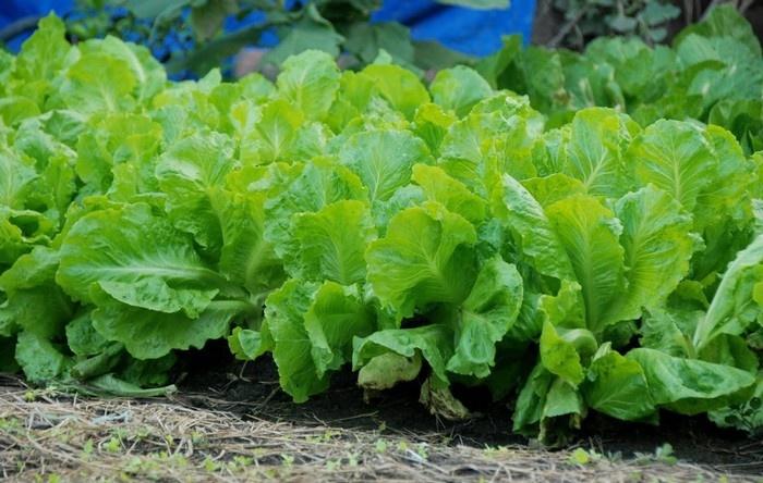 Những luống rau xà lách xanh biêng biếc