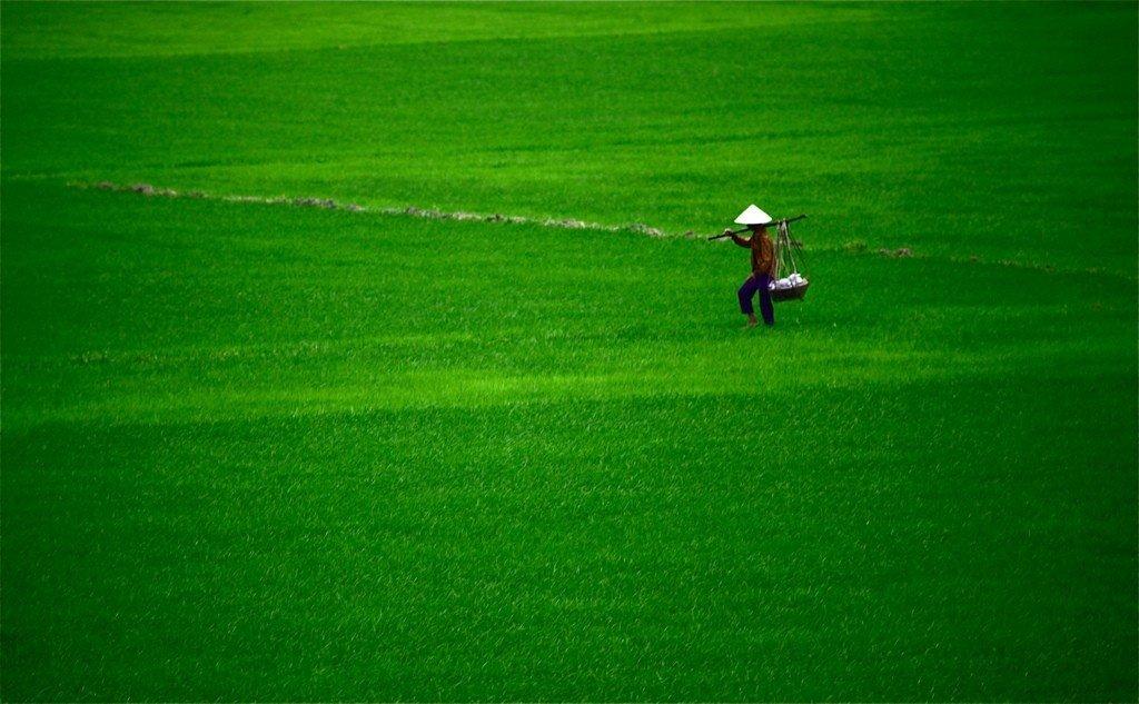 Mướt mắt với đồng lúa xanh tươi ở đất Tuy Hòa