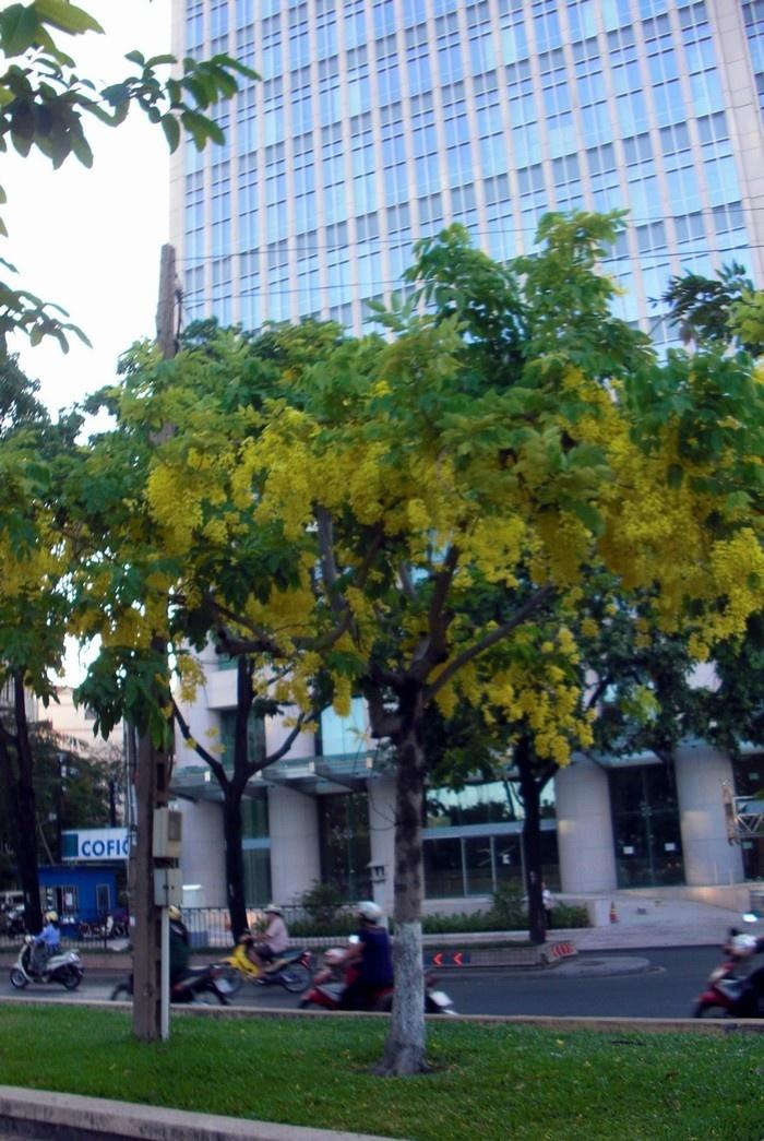 Những ngõ phố Sài thành lấp lánh cùng hoa bò cạp vàng