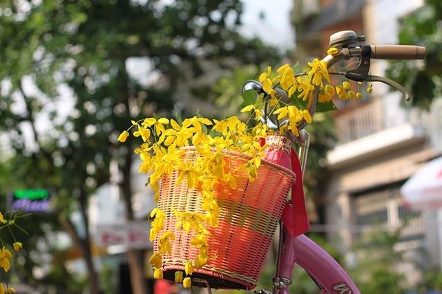 Nhánh hoa muồng trên rổ xe đạp