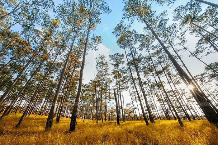 Rừng thông Đà Lạt mùa thay lá