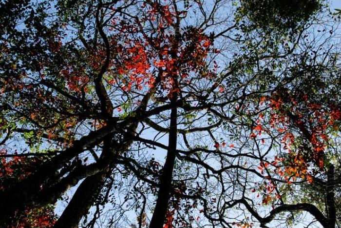 Pha Luông (Mộc Châu) nổi tiếng là một thiên đường lá phong Việt Nam