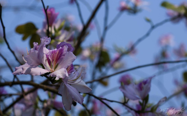 Cánh hoa mềm mại là tấm lòng người con gái Tây Bắc