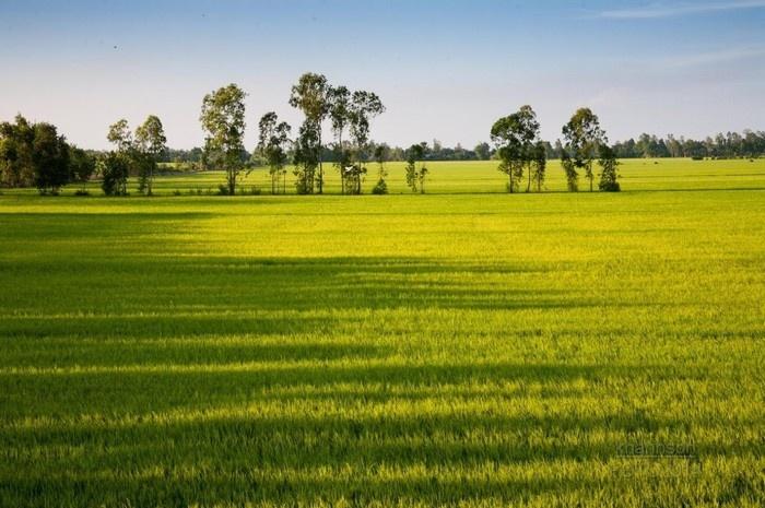 Lúa mênh mang như tình đất nước yêu thương.