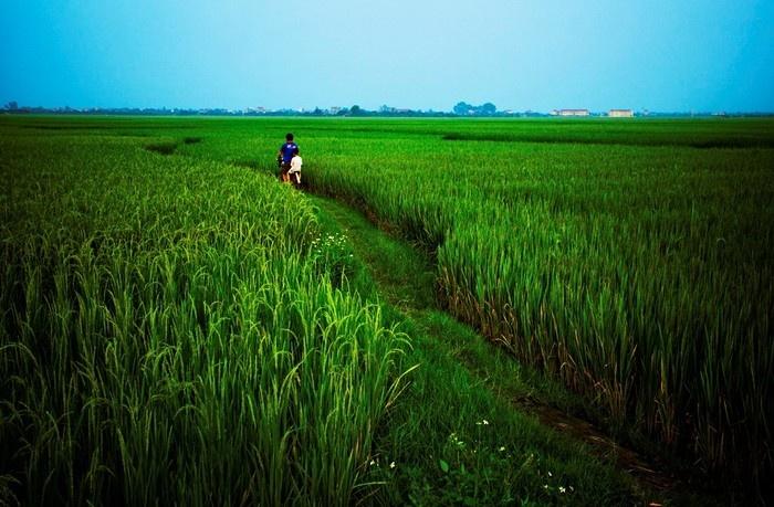 Lúa của quê hương