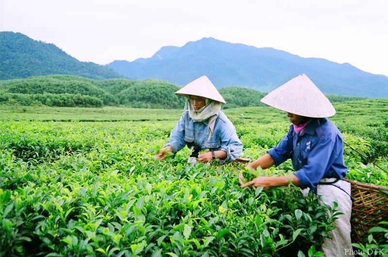 Cây chè là nguồn sống cũng là linh hồn của mảnh đất Đông Giang