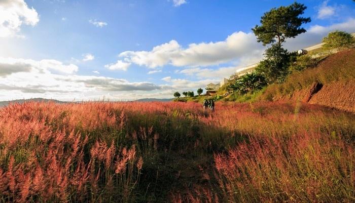 Say mê trước đồi cỏ đuôi chồn hồng tím Đà Lạt
