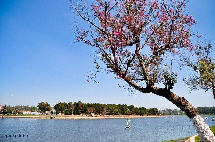 Những cánh hoa rũ xuống bên Hồ Xuân Hương