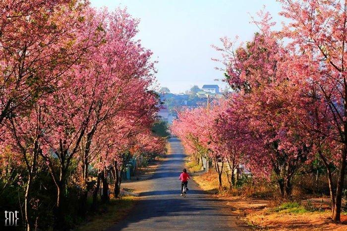 Những con đường rợp bóng hoa anh đào Đà Lạt
