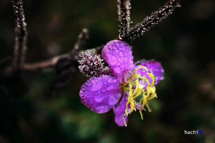 Hoa mua Nhìu Cồ San - một loại hoa quen thuộc của núi rừng cũng trở nên khác biệt hơn khi có những giọt sương đọng lại và đóng băng trên từng cánh hoa.
