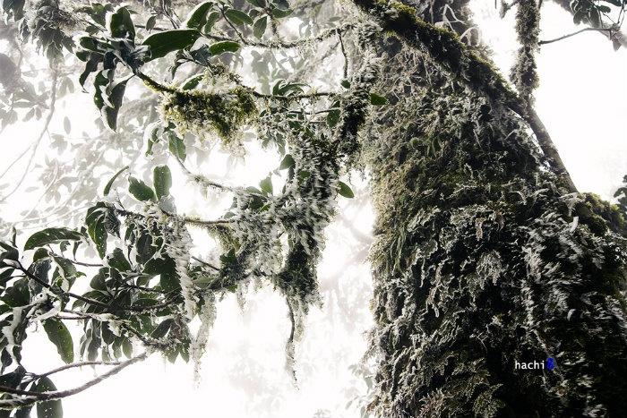 Giá lạnh và gió đã khiến những giọt nước trở thành đám gai sắc nhọn bám đầy cành lá Nhìu Cồ San