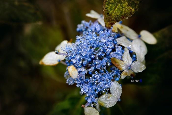 Nhìu Cồ San - Chùm hoa ngọc xanh biếc lấp lánh với những hạt băng tròn xoe