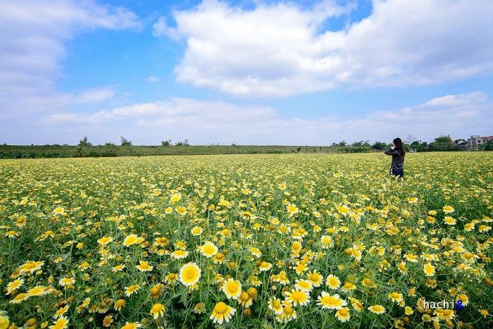 Chỉ cách trung tâm thủ đô Hà Nội chừng 8 km, cứ đến độ cuối đông là những cánh đồng cải cúc tại vùng ngoại ô lại nở hoa rực rỡ.