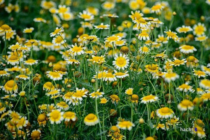 Tại Hà Nội cải cúc dùng lấy hạt, chính vì thế chúng được trồng với số lượng lớn và nở tự do, tạo thành khung cảnh tuyệt đẹp.