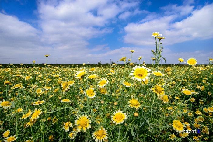 Hoa cải cúc nở rất nhiều tại cánh đồng Kim Sơn và Lệ Chi.