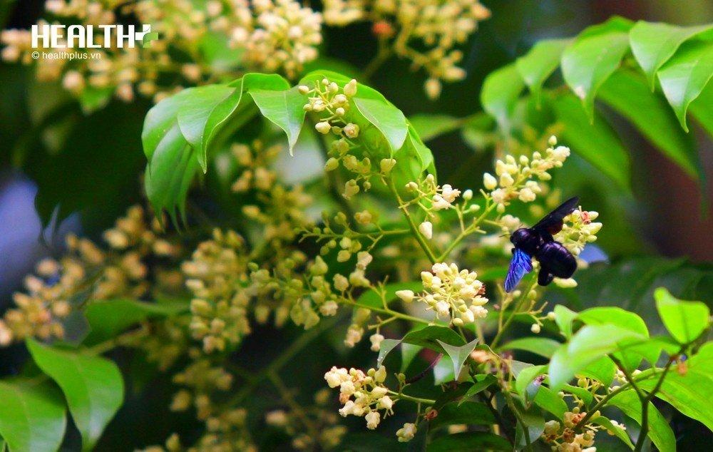 Hà Nội tháng tư nhẹ nhàng cùng những chùm hoa nhỏ