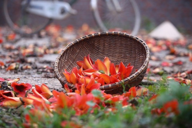 Hoa gạo nhuộm đỏ đường Hà Nội