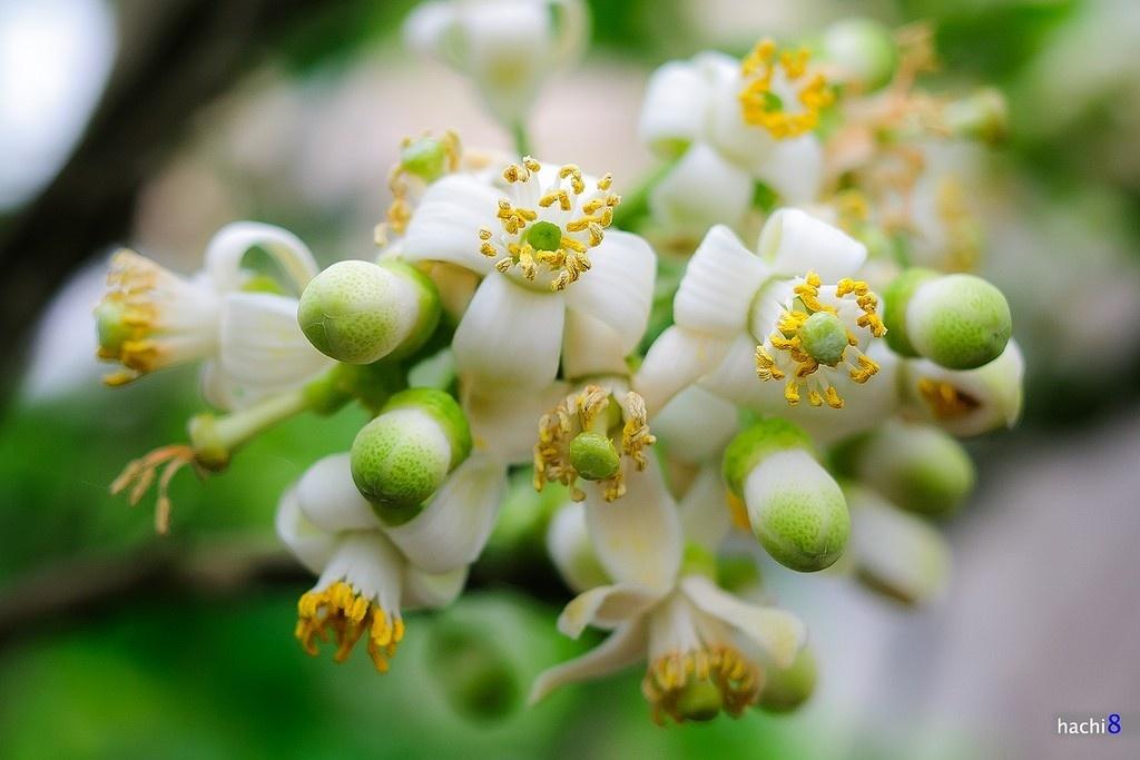 Chùm hoa bưởi Hà Nội thoảng hương dịu nhẹ