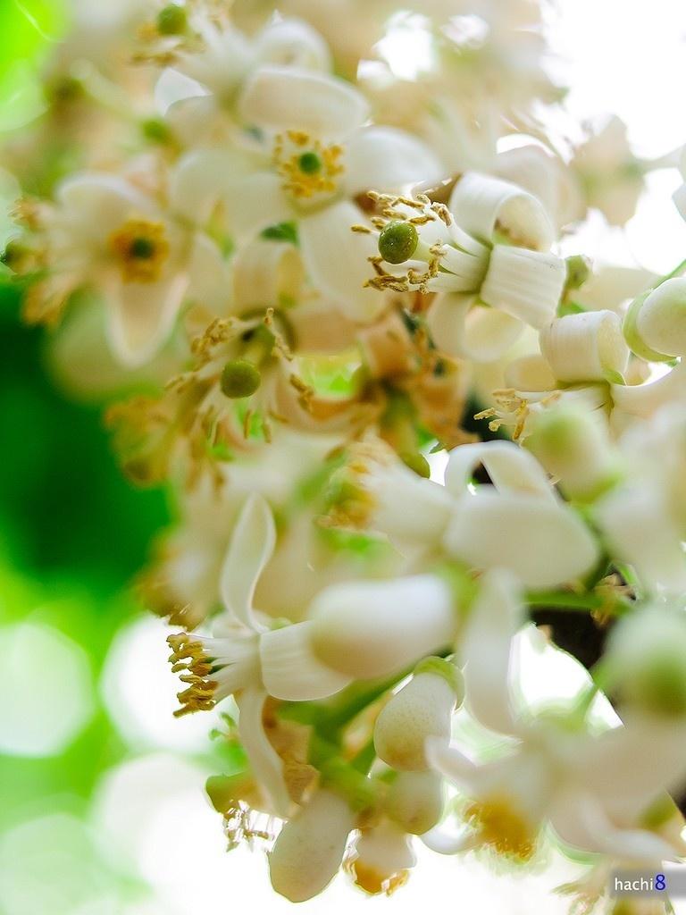 Say đắm mùa hoa bưởi tháng 3 Hà Nội