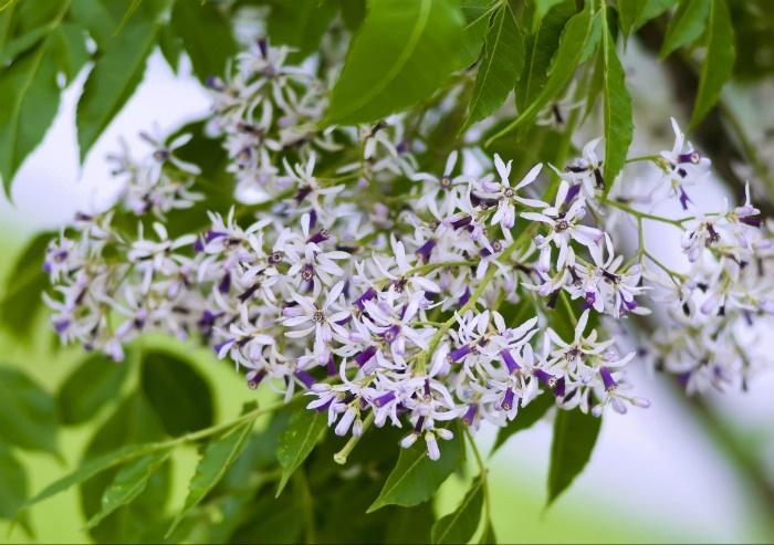 Hoa xoan rụng tím sân nhà Hà Nội