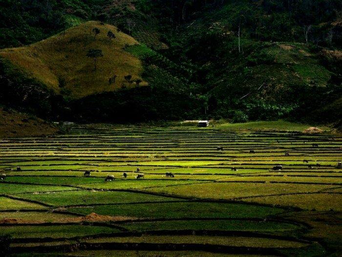 Lâm Đồng - Phía xa xa đàn trâu nhởn nhơ gặm cỏ