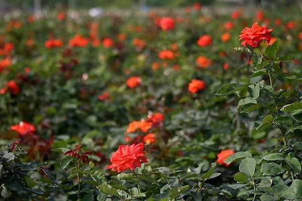 Không chỉ cúc, hoa hồng Mê Linh cũng đua nở cùng mùa xuân