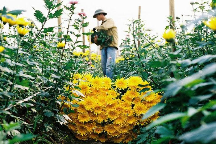 Bàn tay nghệ nhân trồng hoa Tây Tựu
