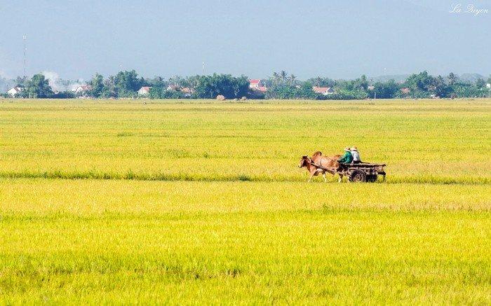 Miên man cùng cánh đồng lúa vàng Phú Yên sắp bước vào mùa vụ