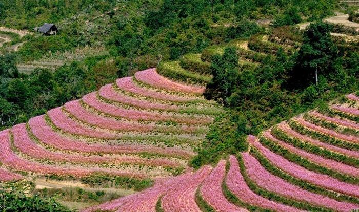 Màu hồng nổi bật giữa núi rừng Hà Giang