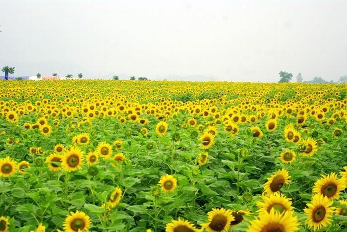 Mùa đông Nghệ An không còn lạnh khi có đồi hoa mặt trời